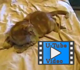 funny cat video of cat chasing his tail